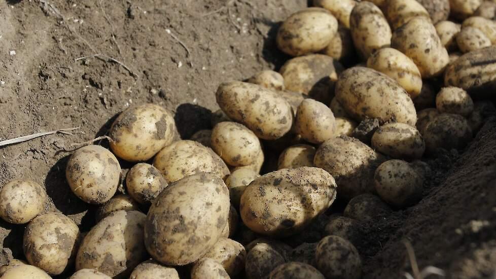 aardappel lucinda rooien booijink ens sr 2 1. detalo